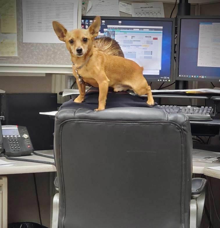 Pedro the Chihuahua